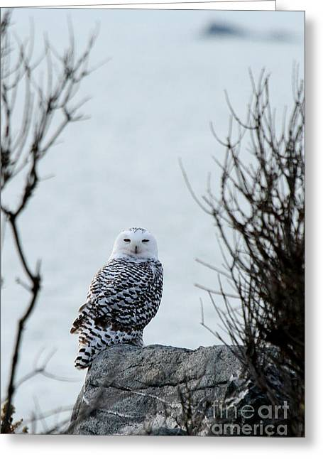 Snowy Owl II Greeting Card by Butch Lombardi