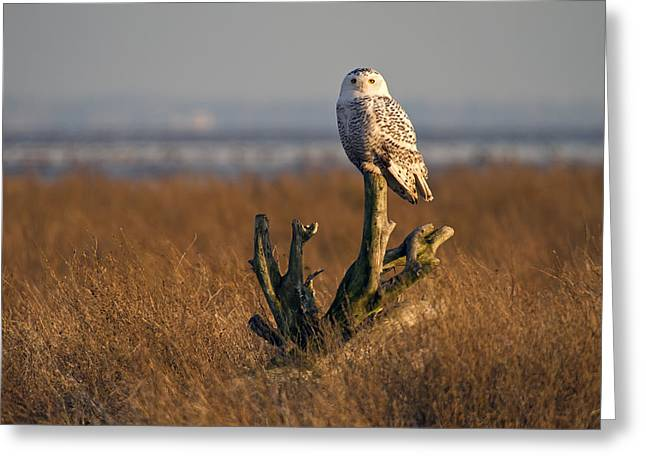 Snowy Owl In Boundary Bay B.c Greeting Card by Pierre Leclerc Photography