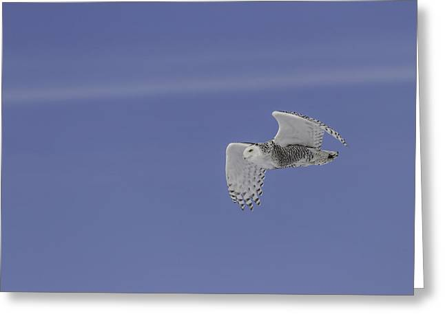 Snowy Owl In Flight 1 Greeting Card by Thomas Young