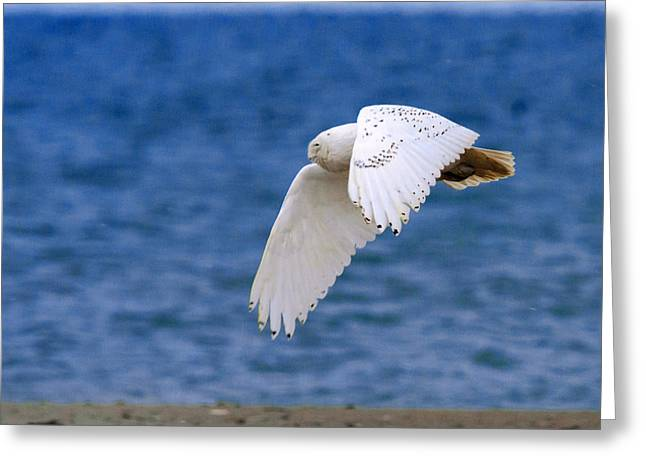 Snowy Owl In Flight Greeting Card by Aaron Smith
