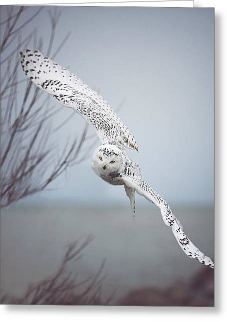 Snowy Owl In Flight Greeting Card by Carrie Ann Grippo-Pike