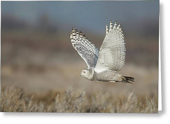 Snowy Owl In Flight Greeting Card by Daniel Behm