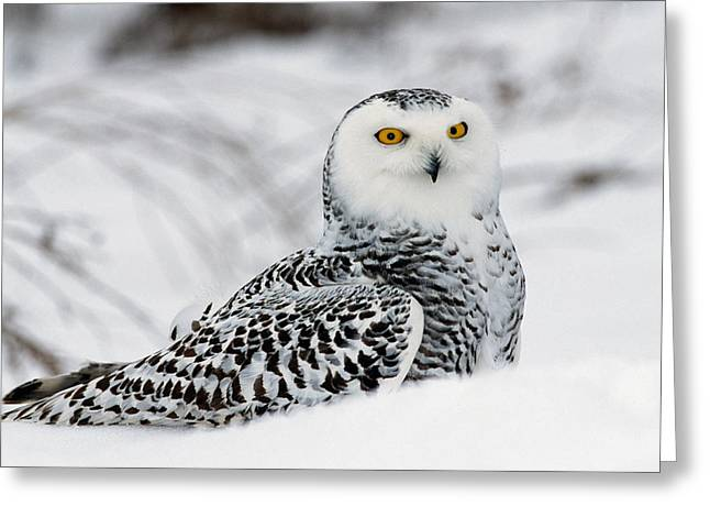 Snowy Owl In Snow, Michigan, Usa Greeting Card by Panoramic Images