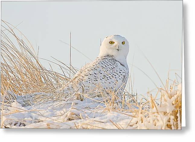 Snowy Owl In The Snow Covered Dunes Greeting Card