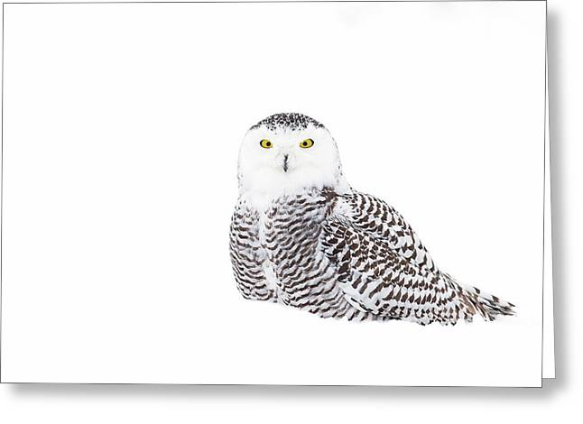 Snowy Owl In Winter Snow Greeting Card