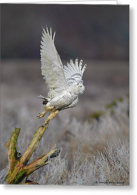 Snowy Owl Liftoff Greeting Card by Daniel Behm