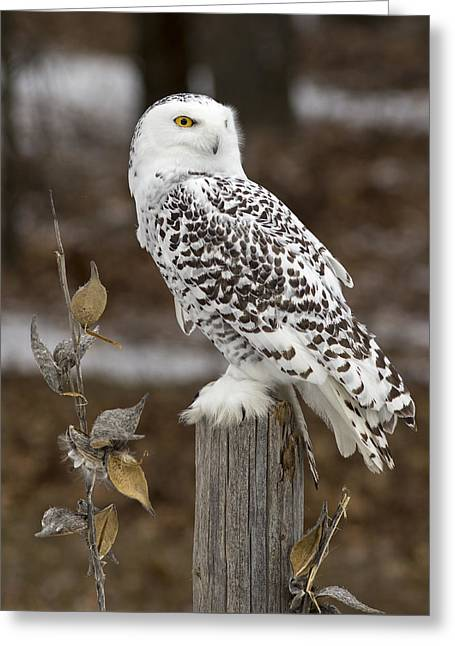 Snowy Owl Posts Greeting Card by Pat Eisenberger