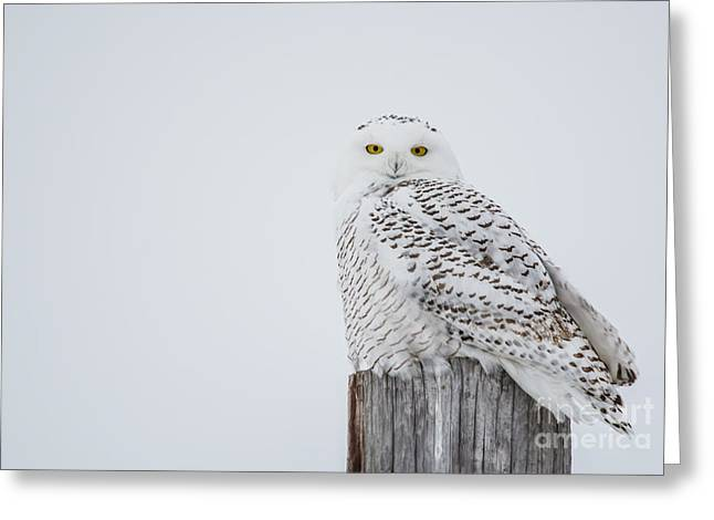 Snowy Owl Perfection Greeting Card by Cheryl Baxter