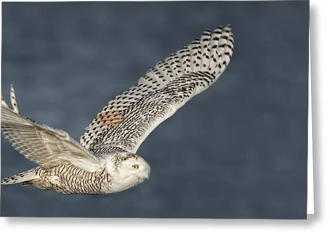 Snowy Owl Pictures 1 Greeting Card by Owl Images