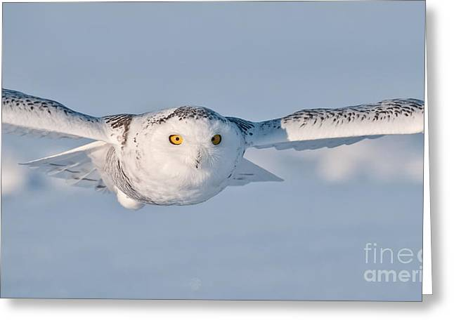 Snowy Owl Pictures 10 Greeting Card