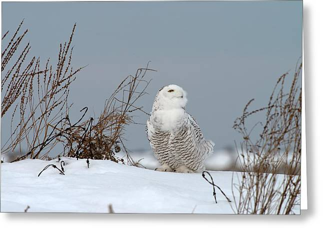 Snowy Owl Pictures 11 Greeting Card by Owl Images