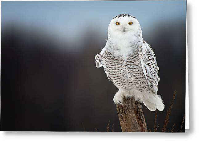 Snowy Owl Pictures 12 Greeting Card by Owl Images