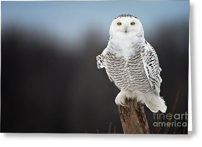 Snowy Owl Pictures 13 Greeting Card