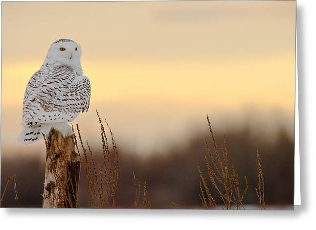 Snowy Owl Pictures 13 Greeting Card by Owl Images