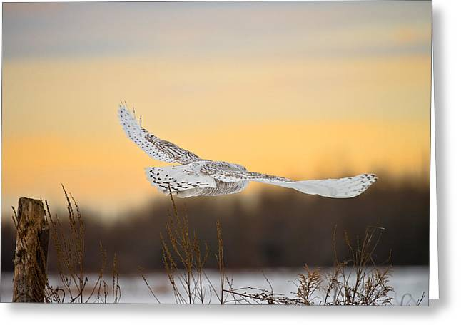 Snowy Owl Pictures 14 Greeting Card by Owl Images