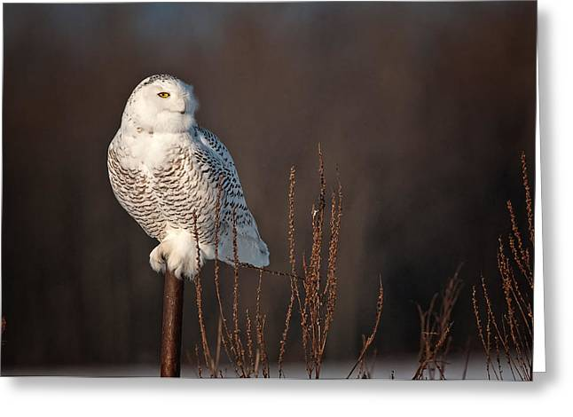 Snowy Owl Pictures 15 Greeting Card by Owl Images