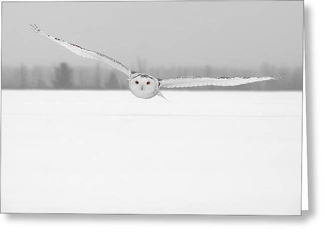 Snowy Owl Pictures 16 Greeting Card by Owl Images