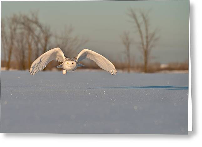 Snowy Owl Pictures 17 Greeting Card by Owl Images