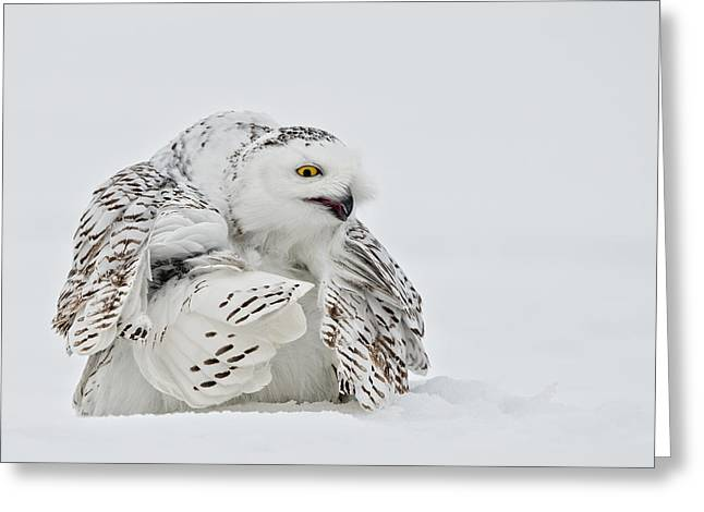 Snowy Owl Pictures 19 Greeting Card by Owl Images