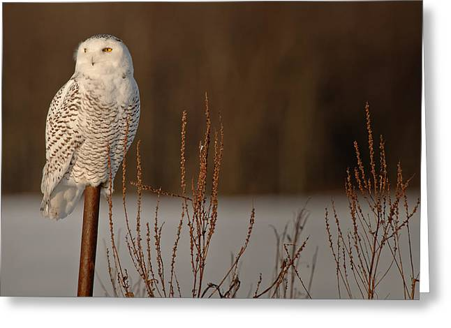 Snowy Owl Pictures 2 Greeting Card by Owl Images