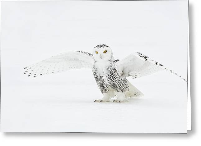 Snowy Owl Pictures 23 Greeting Card by Owl Images