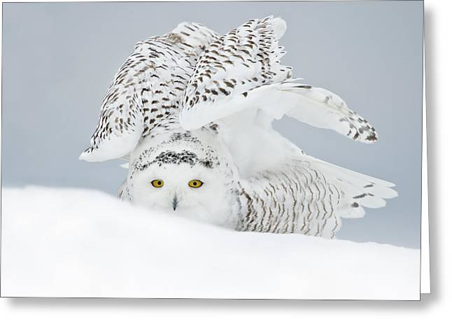 Snowy Owl Pictures 25 Greeting Card by Owl Images