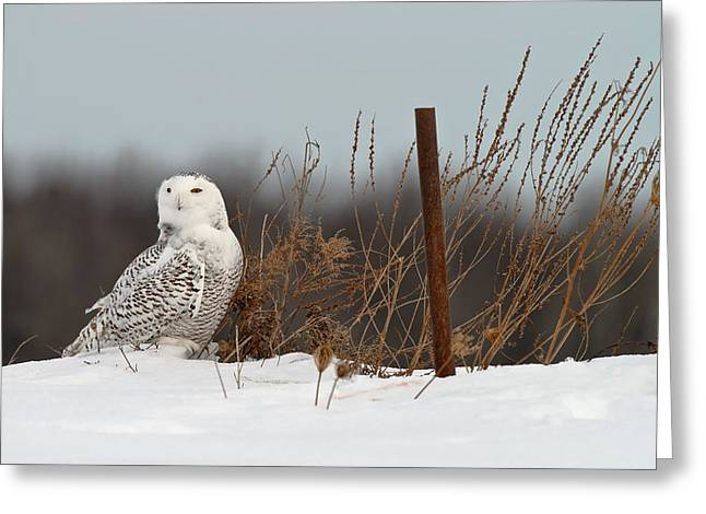 Snowy Owl Pictures 3 Greeting Card by Owl Images