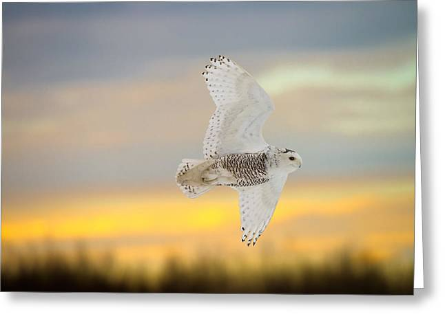 Snowy Owl Pictures 4 Greeting Card by Owl Images
