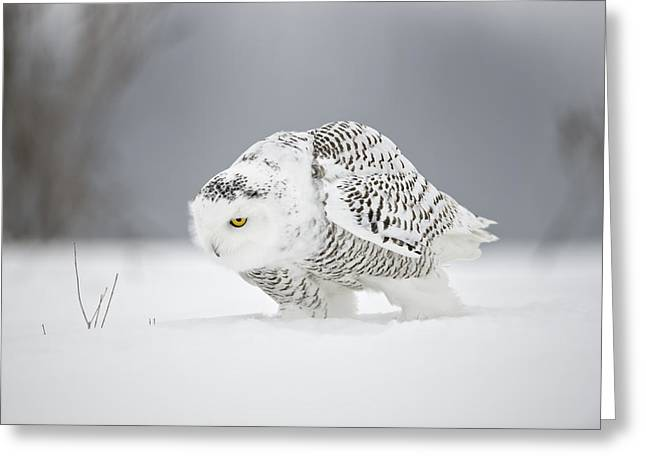 Snowy Owl Pictures 20 Greeting Card by Owl Images