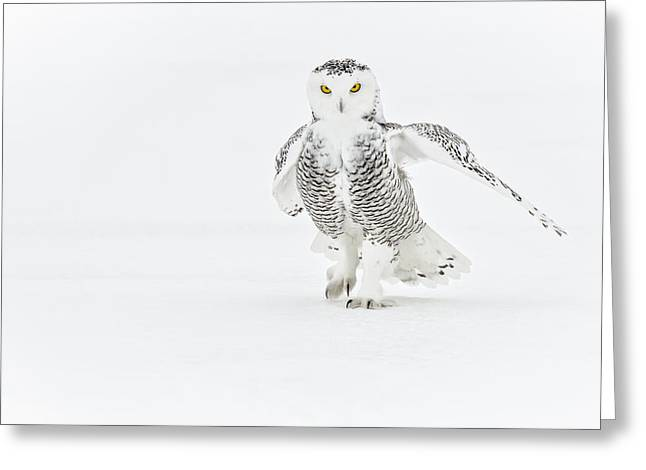 Snowy Owl Pictures 21 Greeting Card by Owl Images
