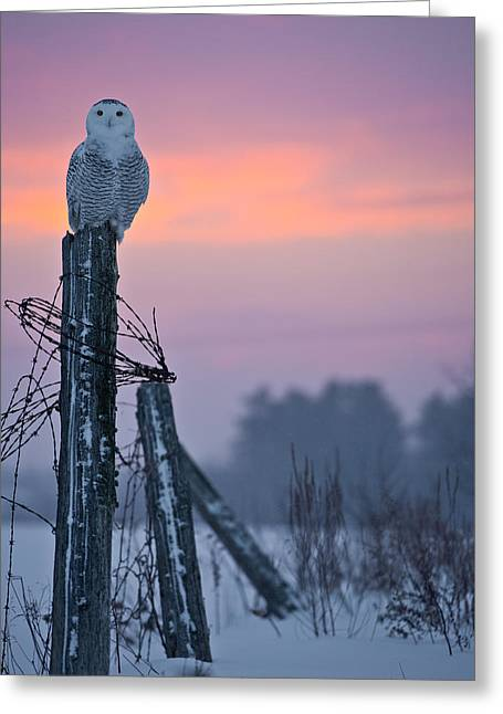 Snowy Owl Pictures 5 Greeting Card by Owl Images