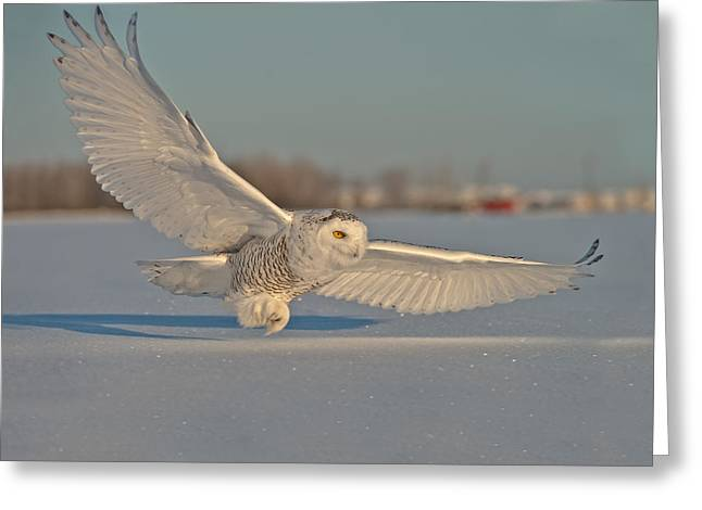 Snowy Owl Pictures 6 Greeting Card by Owl Images