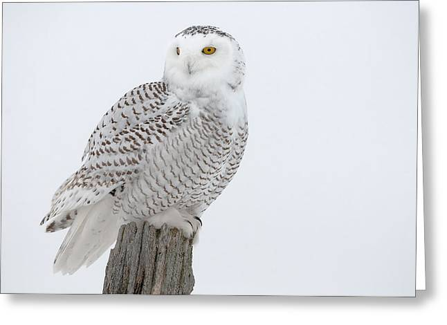 Snowy Owl Pictures 7 Greeting Card by Owl Images