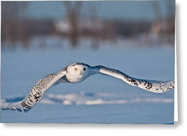 Snowy Owl Pictures 8 Greeting Card by Owl Images