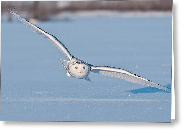 Snowy Owl Pictures 9 Greeting Card by Owl Images