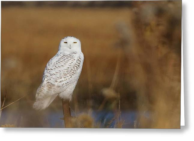 Snowy Owl Portrait Greeting Card by Stephanie McDowell