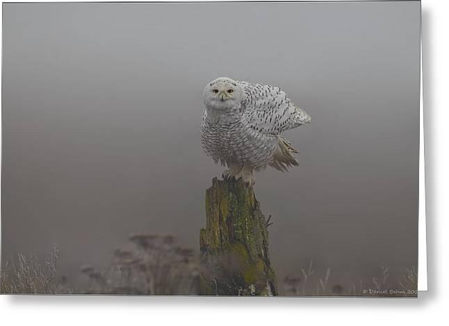 Snowy Owl Shaking Greeting Card by Daniel Behm