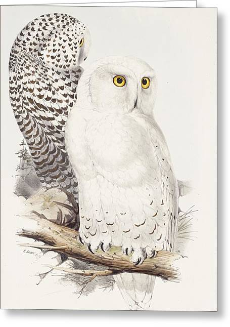 Snowy Owl Greeting Card by Edward Lear