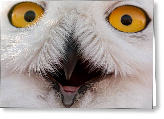 Snowy Owl Up Close And Personal Greeting Card by Laura Duhaime
