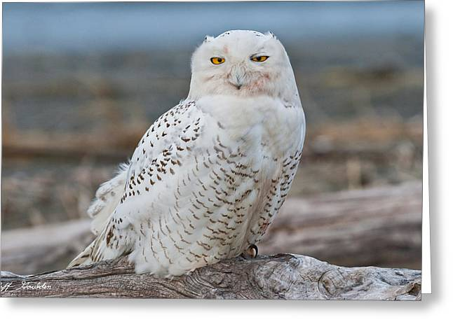 Snowy Owl Watching From A Driftwood Perch Greeting Card