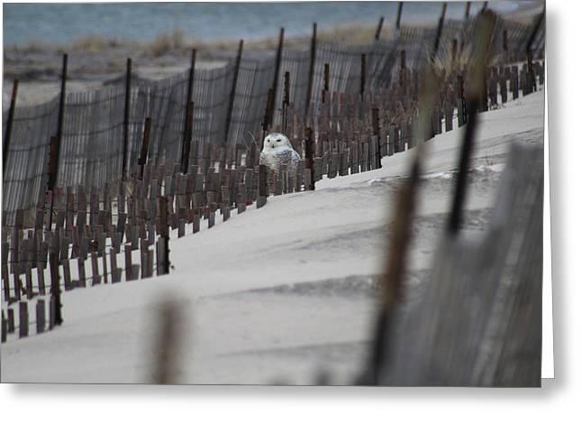 Snowy Owl Westhampton New York Greeting Card