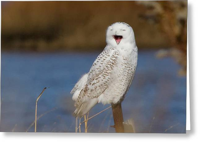 Snowy Owl Yawning Greeting Card by Stephanie McDowell
