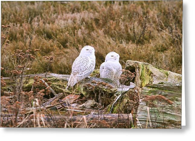 Snowy Owls At Boundary Bay Greeting Card by Peggy Collins