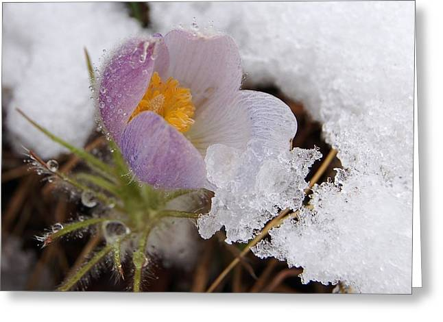 Snowy Pasqueflower Greeting Card