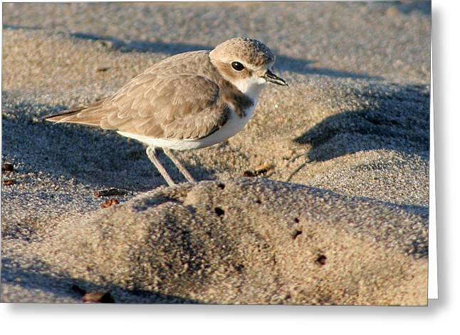 Greeting Card featuring the photograph Snowy Plover by Bob and Jan Shriner