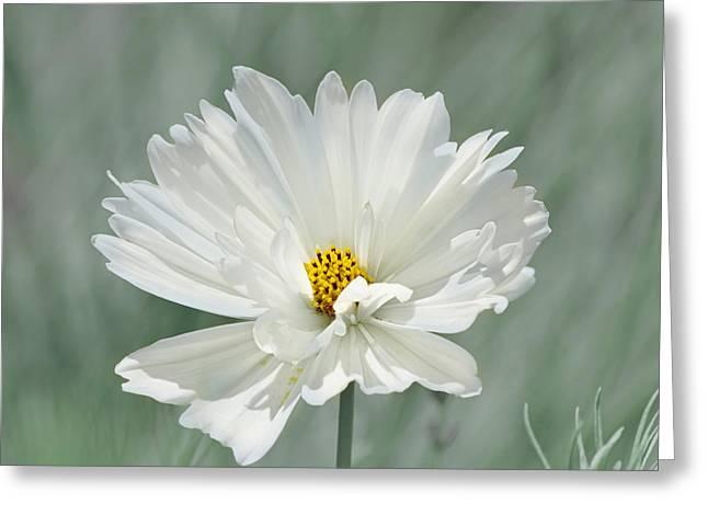Snowy White Cosmos Greeting Card by Kim Hojnacki