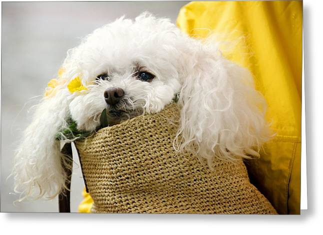 Snuggled Poodle Dog Greeting Card by Donna Doherty