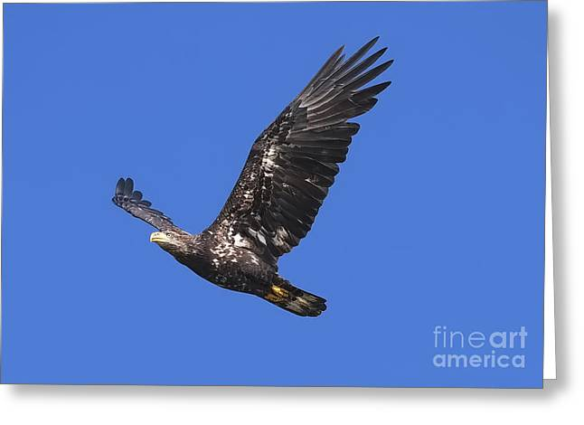 Soar Like An Eagle Greeting Card by Sharon Talson
