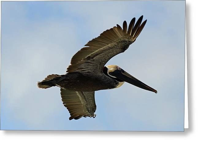 Soaring Brown Pelican Greeting Card
