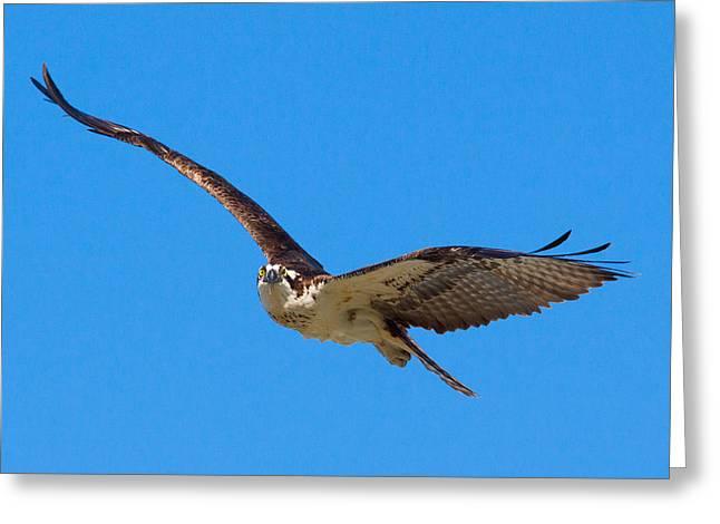 Soaring Osprey Greeting Card by Adam Pender